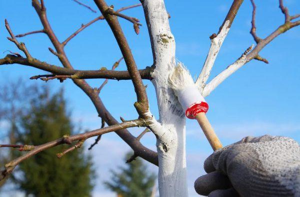 Забарвлення садових дерев захисною фарбою
